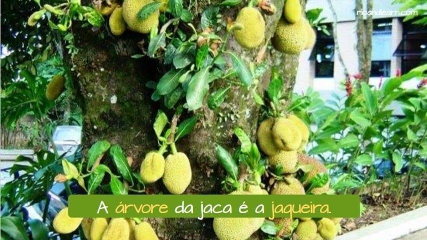 Árvores no Brasil. Árvores frutíferas e suas Frutas em Português. A árvore da jaca é a jaqueira.