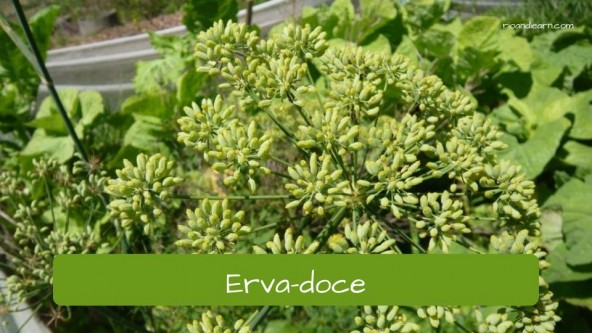 Spices in Portuguese. Fennel: Erva-Doce