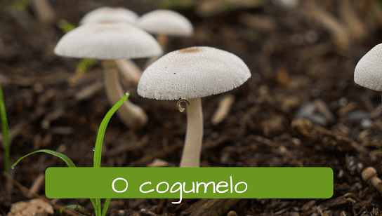 Vegetables in Portuguese: o cogumelo mushroom