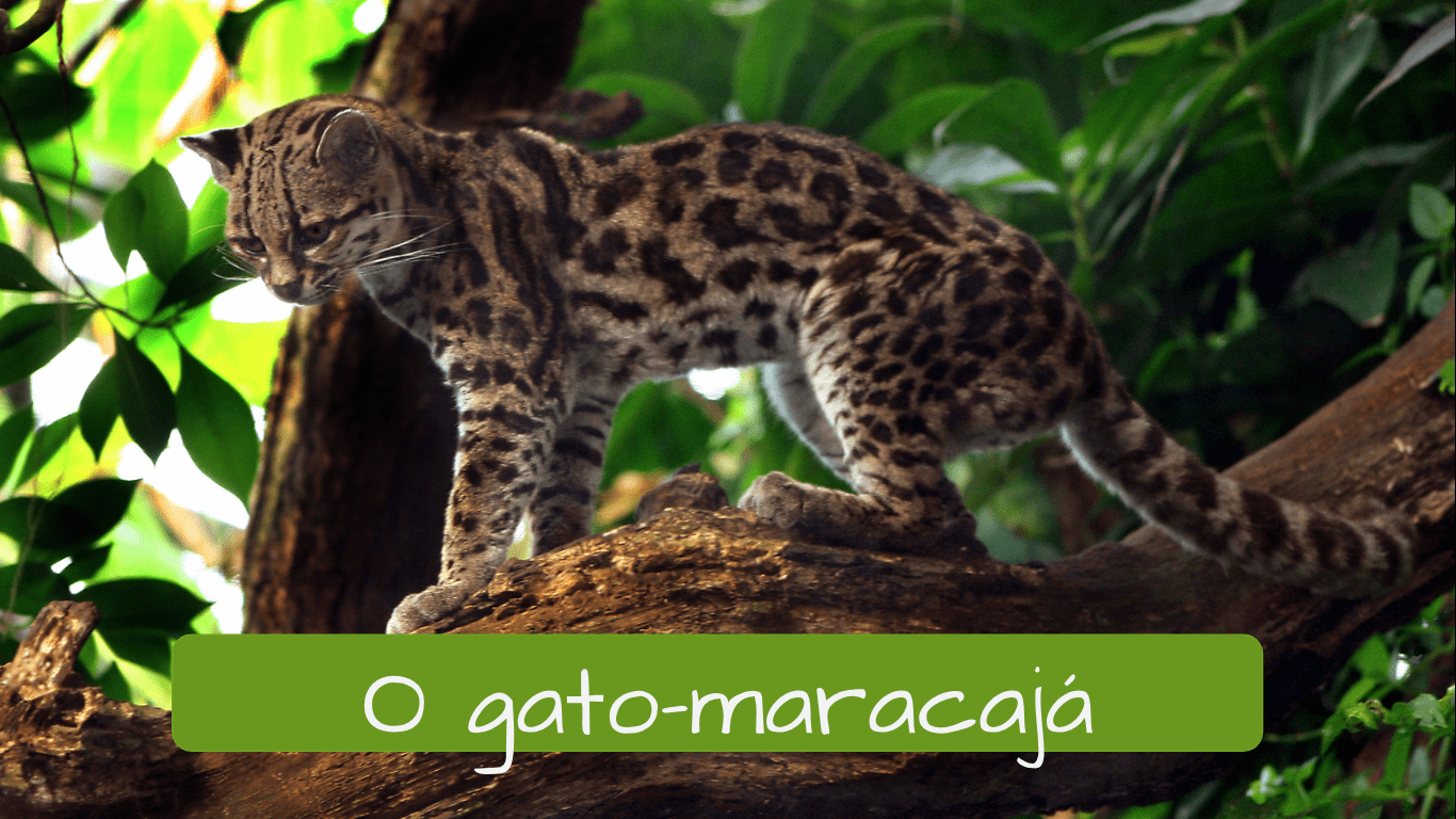Exotic animals in Brazil. o gato maracajá