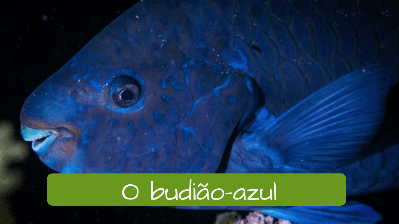 Exotic animals in Brazil. o budião-azul