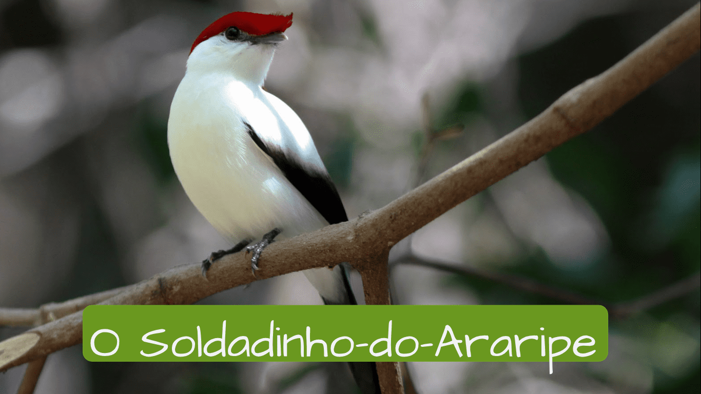 Exotic animals in Brazil. o soldadinho do araripe