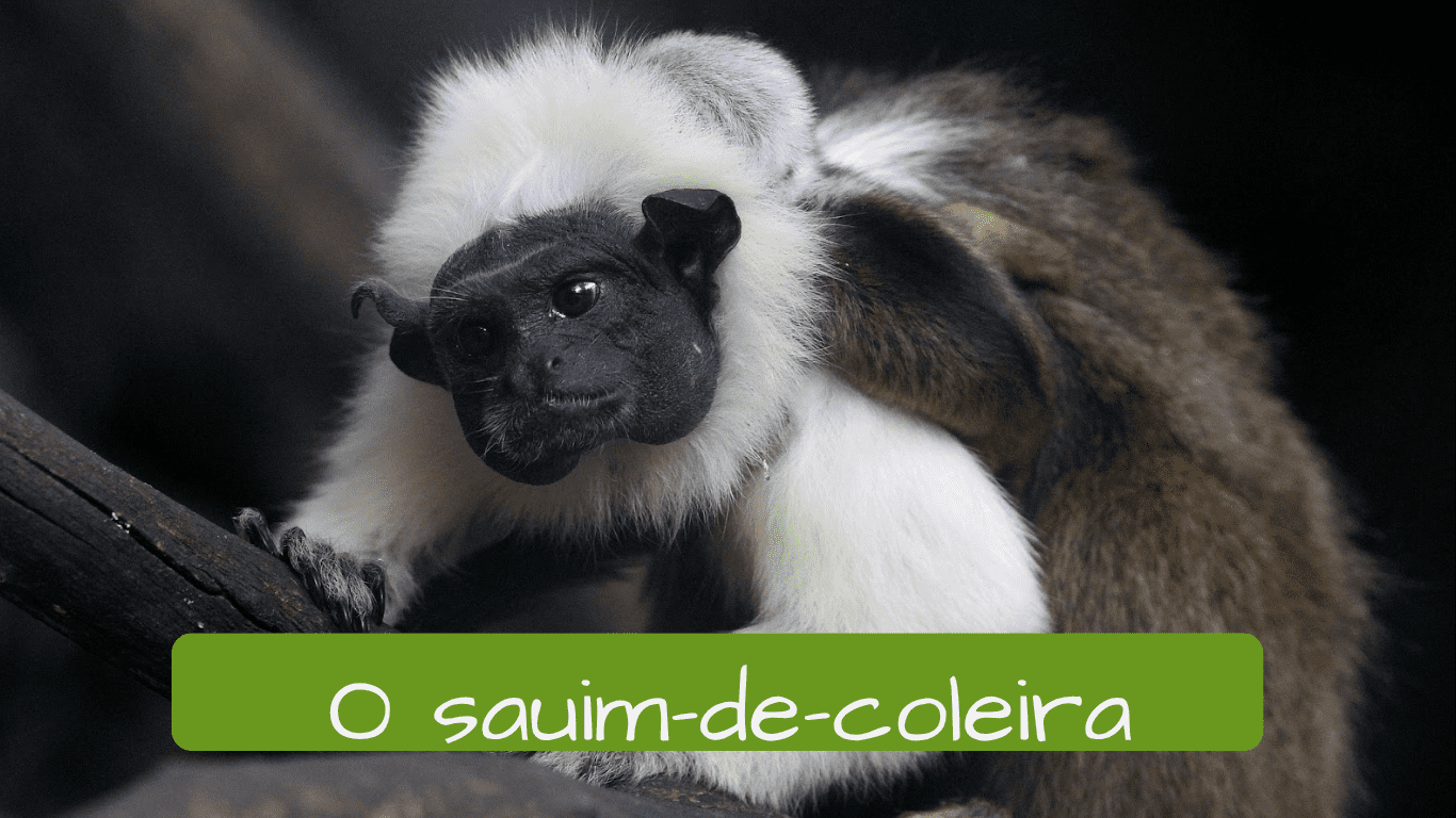 Exotic animals in Brazil.. o sauim de coleira
