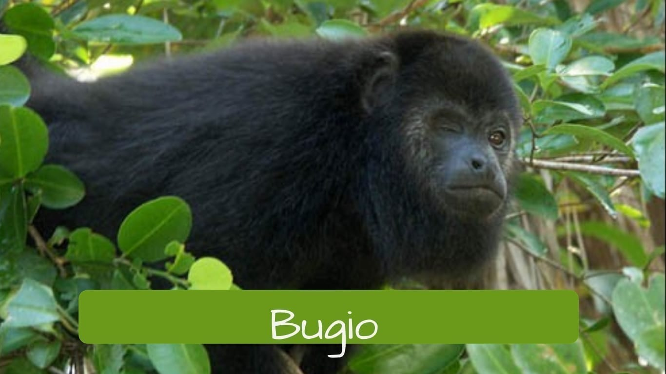 exotic animals in Brazil bugio
