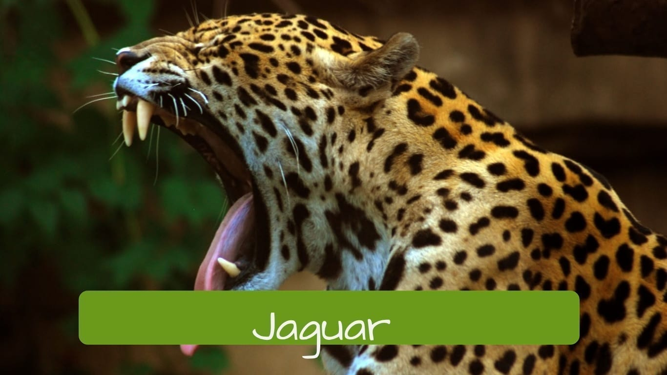 exotic animals in Brazil jaguar