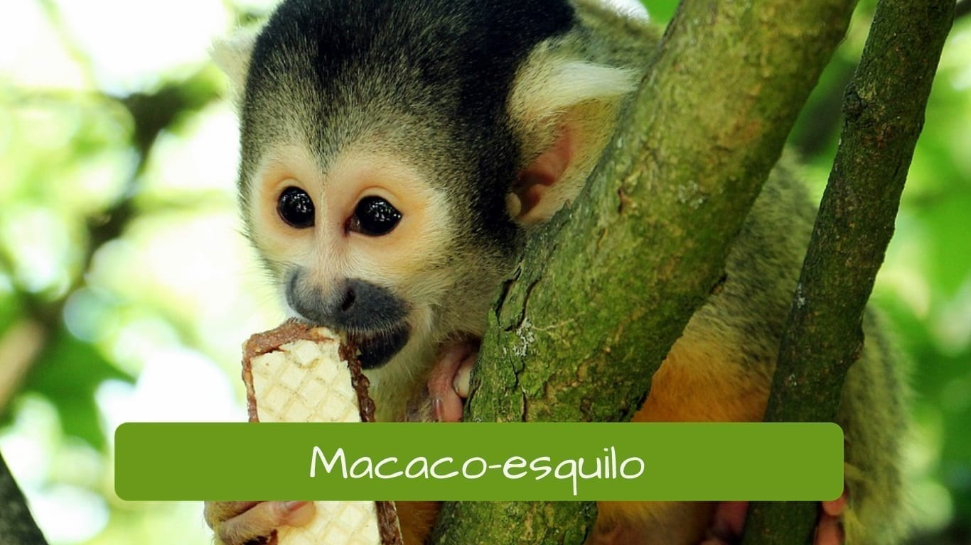 exotic animals in Brazil macaco-esquilo