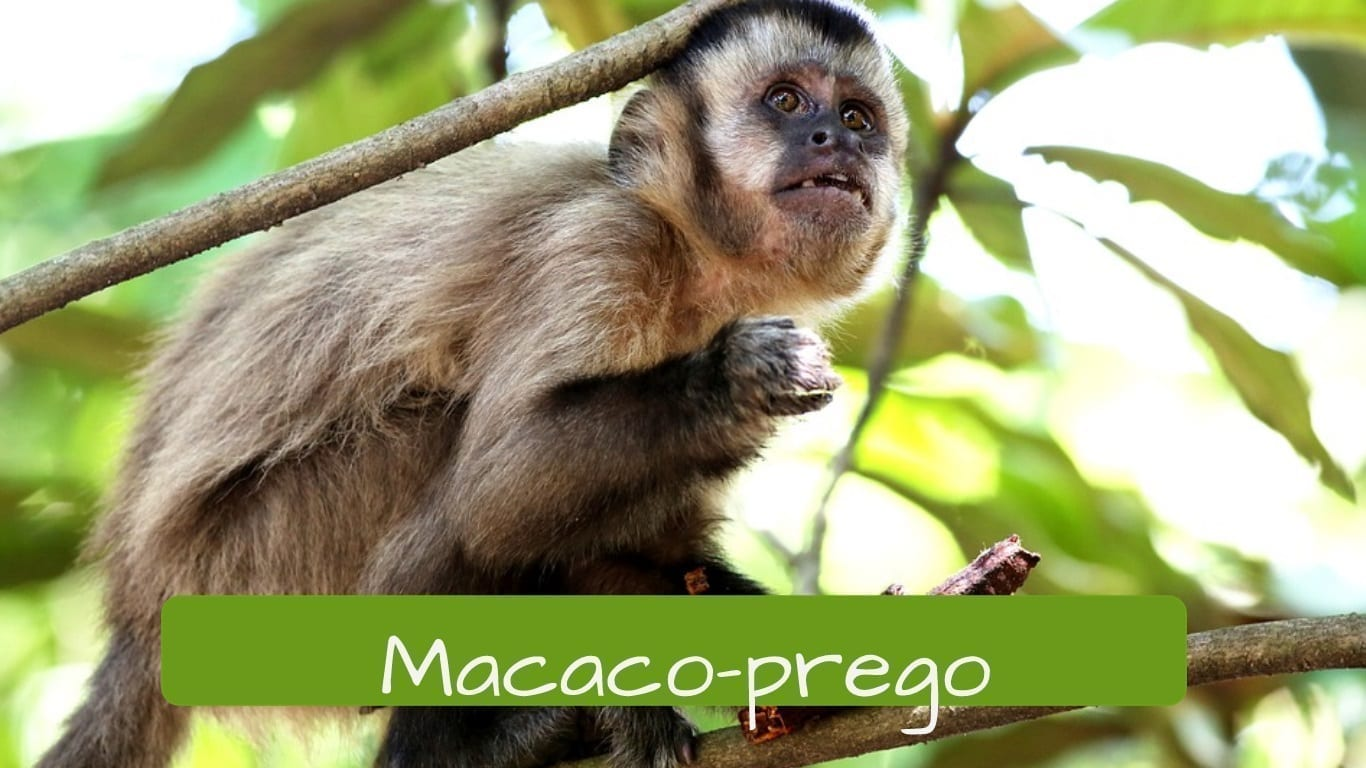 exotic animals in Brazil macaco-prego