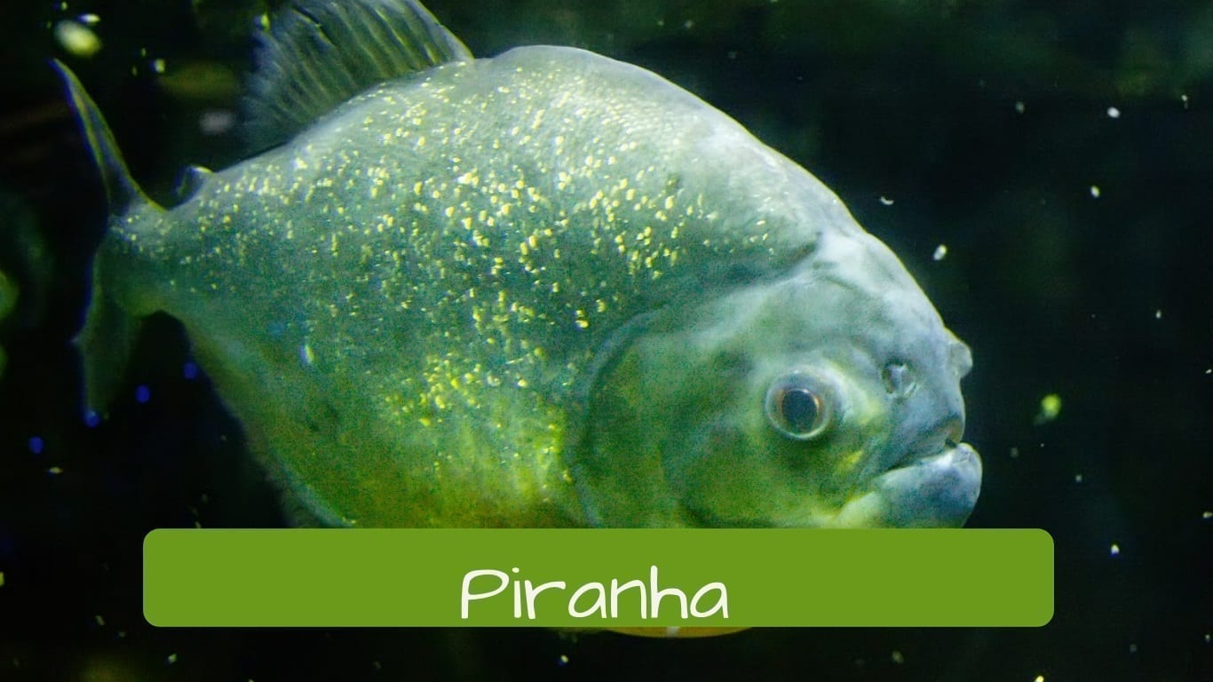 exotic animals in Brazil piranha