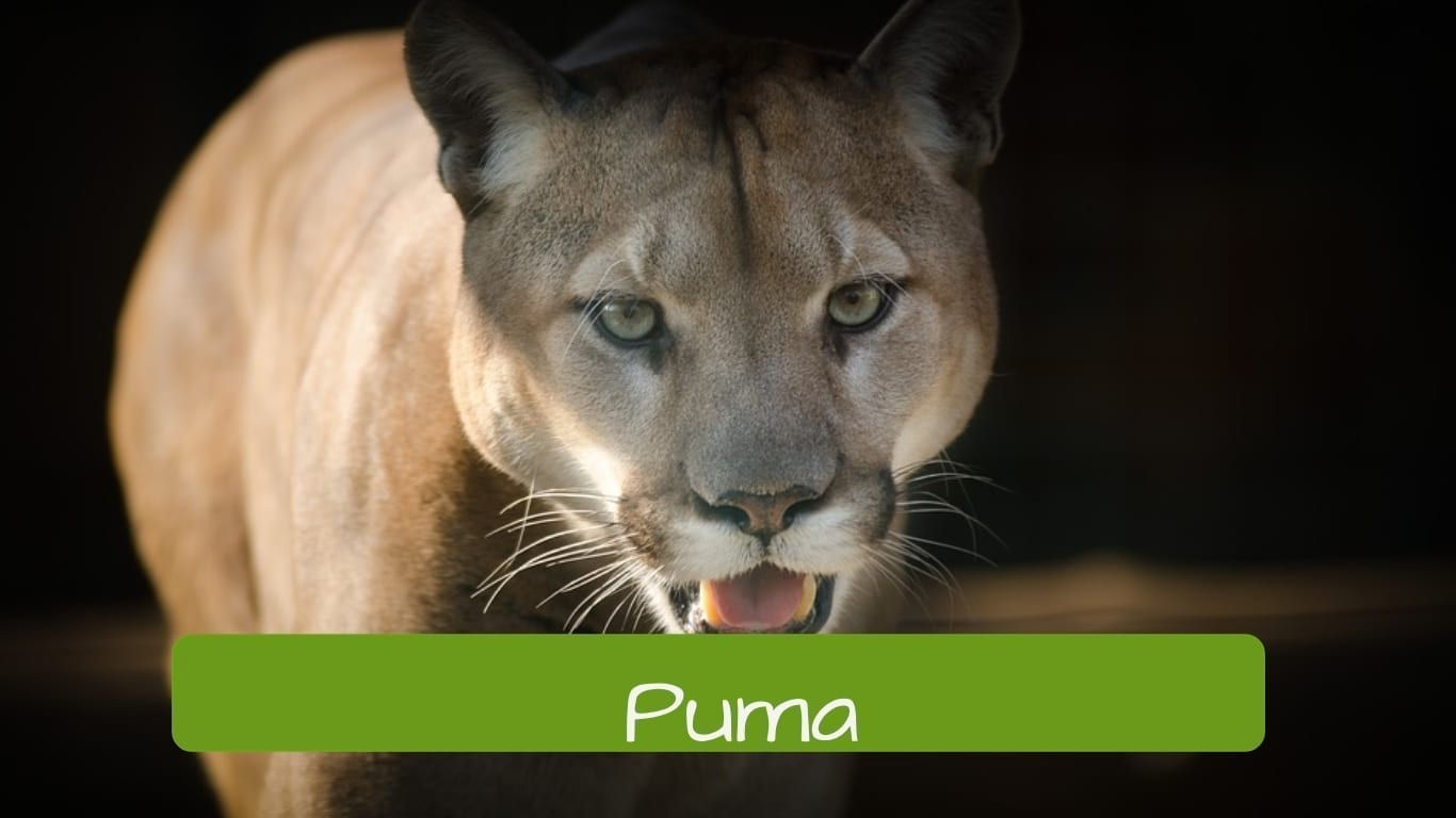 exotic animals in Brazil puma