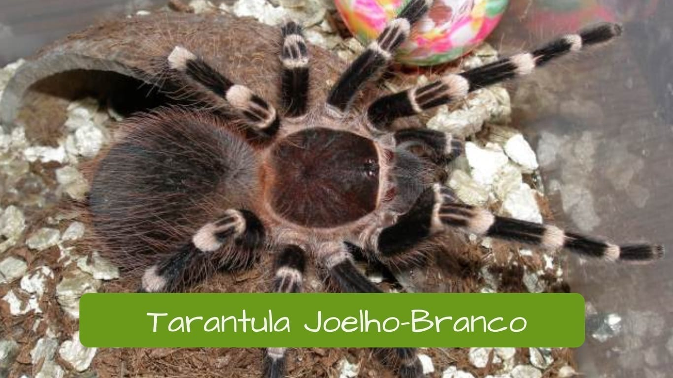 exotic animals in Brazil tarantula joelho-branco