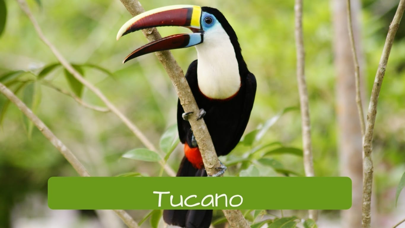 exotic animals in Brazil tucano