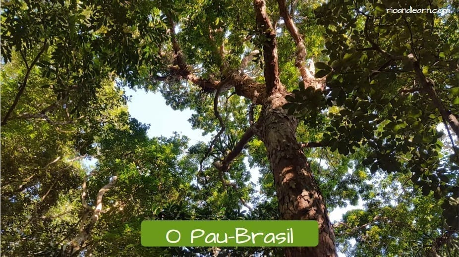 Why is Brazil called Brazil: O Pau-Brasil. Brazilwood Tree.